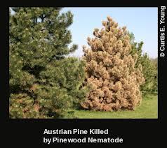 pines-losing-nematode