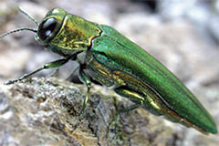 Treat Emerald Ash Borer