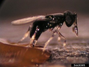 Parasitic Wasp to Kill Emerald Ash Borer