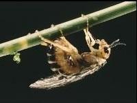 Adult Female Sawfly