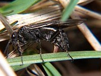 Adult Male Sawfly