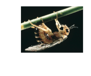 Pine Sawfly Adult Female