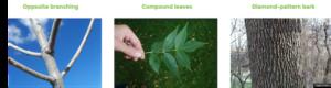 Ash Tree Identification